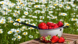 En skål med jordgubbar mot en äng med prästkragar.