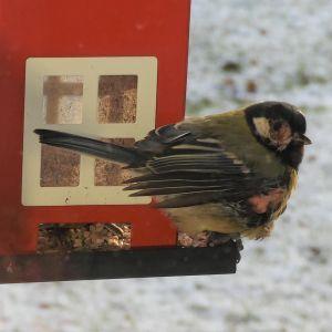 En skadad talgoxe på ett fågelbräde