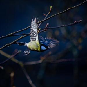 Talitiainen lentää