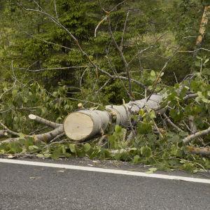Tielle kaatunut haapa on sahattu poikki ja raivattu tien sivuun.
