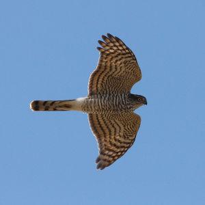 Varpushaukka lennossa