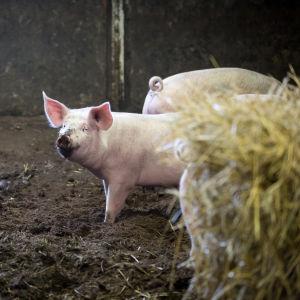 Finländsk gris.