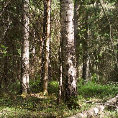 Vanha metsä.