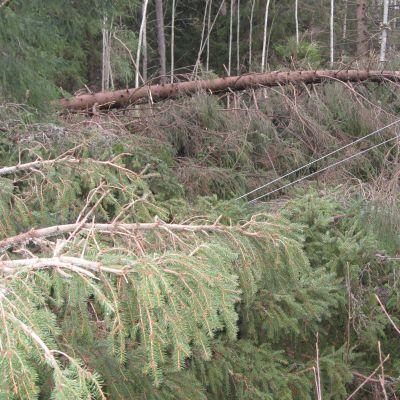 Elledningar drogs ner i Manngård då träd föll i stormen Dagmar.