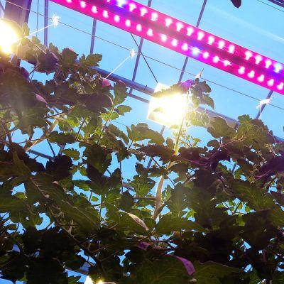 LED-lampor i växthus