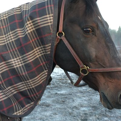 Hevonen katselee kameraa