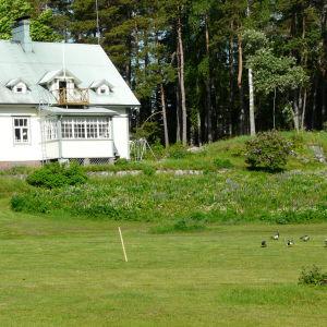 Svante Johansson på Kitö behöver ingen gräsklippare, gässen äter upp gräset