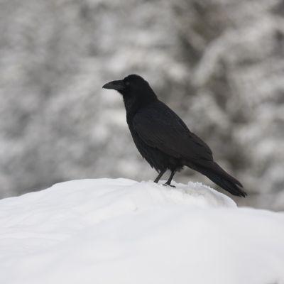 Korppi lumihangessa