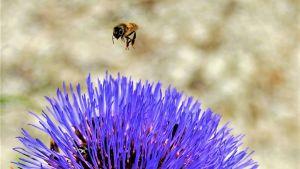 Ett bi som siktar in sig på en blå blomma i närbild.