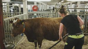 Carin Grotenfelt luo lantaa navetassa lehmän vieressä luomumaitotilallaan Juvalla.