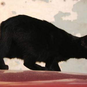 Musta kissa hiipii