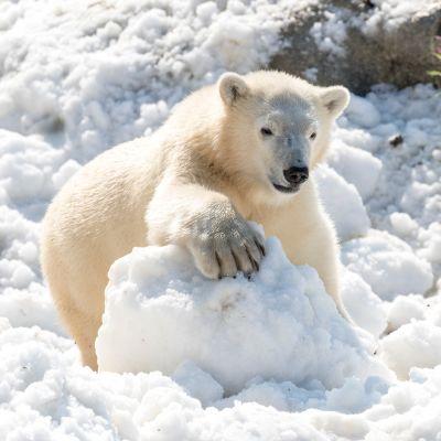 Jääkarhu leikkii lumessa Ranuan eläinpuistossa.