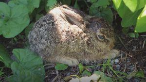 En skadad kanin i en buske.