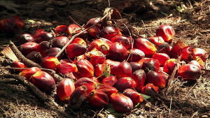 öljypalmun hedelmiä eli marjoja maassa (ohjelmasta Ulkolinja 18.9.14)