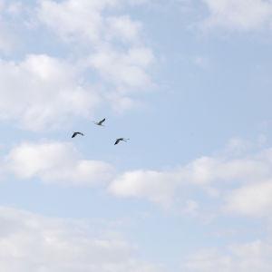 Flygande tranor över Långfjärden
