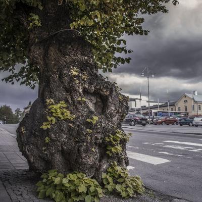 Linden i Jakobstad