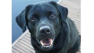 musta labradorinnoutaja hymyilee laiturilla