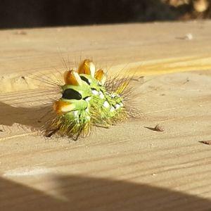 Agneta Sunden fann denna vackra larv på sin trappa i Venjärvi i Borgå. Hon undrar vad denna filur är för en och hur denna ser ut som vuxen.