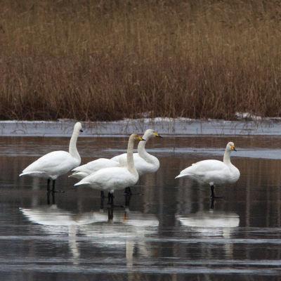 sångsvanar står på isen