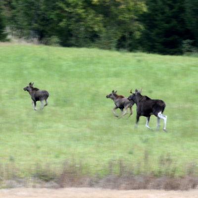 En älgko och tjur med två kalvar travar över en äng i skymningen