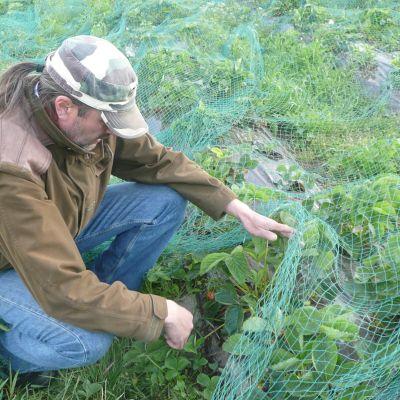 mansikka kypsyy valtarin tilalla, jarmo valtari raottaa verkkoa