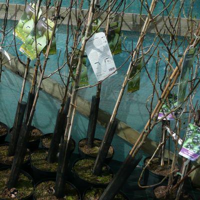 päärynäpuun taimia
