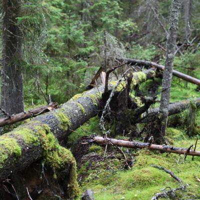 Vanha puu kaatuneena metsässä