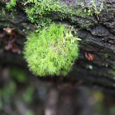 Sammalta kaatuneen puun kyljessä