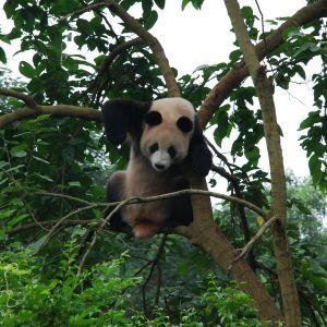 En panda klättrar i träd