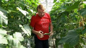Martin Westerberg håller i en gurka i ett växthus