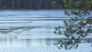 En tallkvist sträcker sig ut över blått vatten med små vågor.