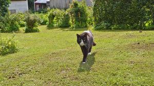 En svartvit katt går mot kameran på en gräsmatta.