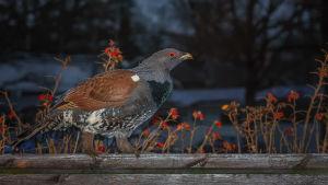 fågel på staket