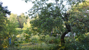 På bilden syns ett äppelträd i en frodigt vildvuxen trädgård.