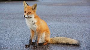 En räv sitter på asfalt.