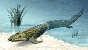 Tiktaalik, ett av de första djuren som tog sig från havet upp på land.