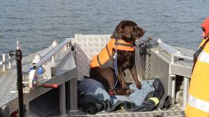 En svart hund i orange flytväst  sitter i fören på en båt.