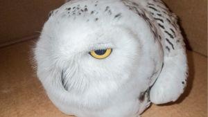 Närbild på en vit uggla med gula ögon i en papplåda.