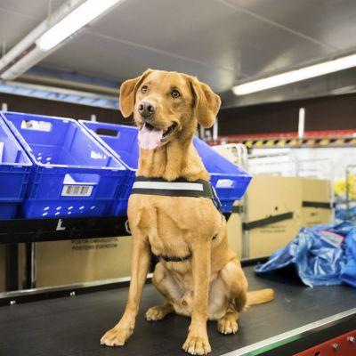 Labrador Retrievern Manu är utnämnd till årets tullhund i Finland