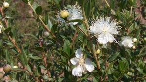 Blommande myrten