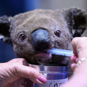 Koala dricker från spruta som någon håller i med rosamålade naglar.