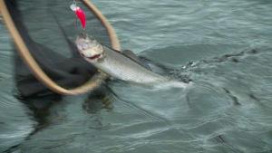 Kalastaja nostaa harjusta haaviin Tervon Äyskoskella