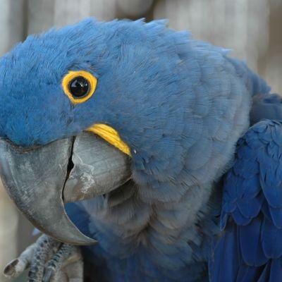 En blå papegoja tittar in i kameran.