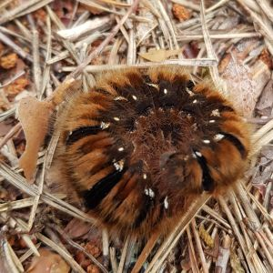 Lurvi larv