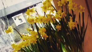 Narsisseja ikkunalla