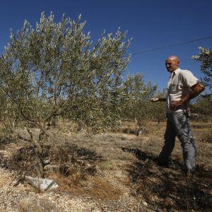 Olivträden i Sydeuropa lider av torka