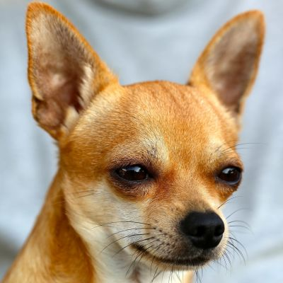 Chihuahuan kuono