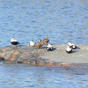 Svartvita och bruna sjöfåglar på en klippa.