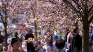 Flicka i japansk utstyrsel går under körsbärsträd