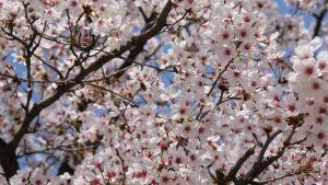 kirsikkapuu kukassaan